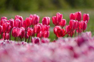 De bloembollen van Julianadorp aan Zee hebben prachtige kleuren.